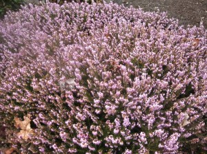 A huge pink heather