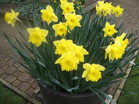 Traditional yellow daffodils.