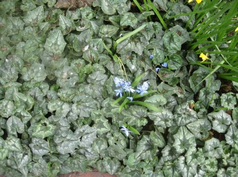 That's a blue squill in that enormous bed of hardy cyclamen foliage.