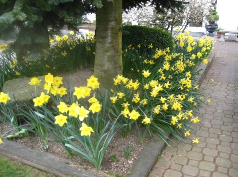 A bed full of daffodils.