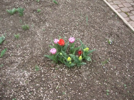 One forlorn clump of tulips.