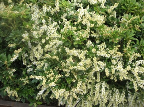 Pieris japonica, one of our mainstay landscaping shrubs here.